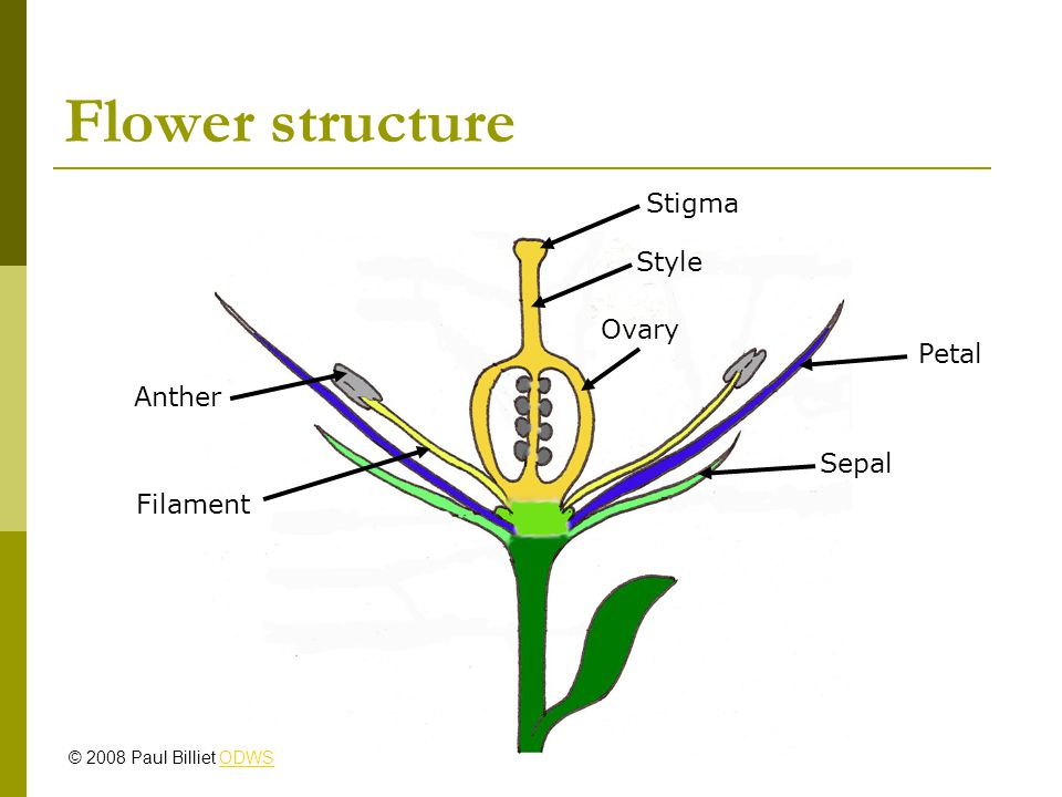 Flower structure Stigma Style Ovary Petal Sepal Filament Anther © 2008 Paul Billiet ODWSODWS
