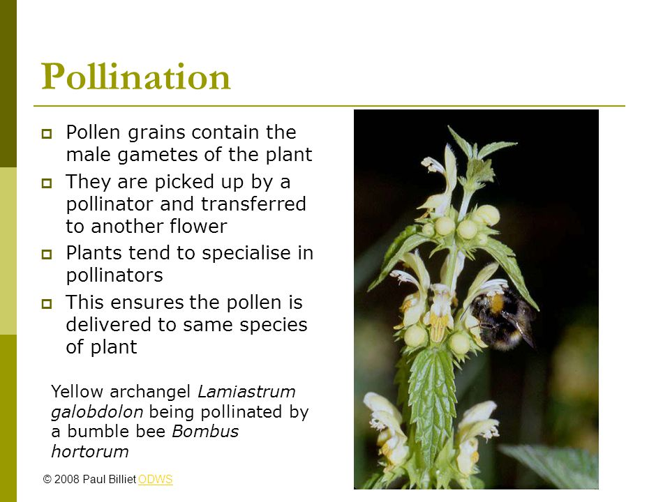 Pollination Pollen grains contain the male gametes of the plant They are picked up by a pollinator and transferred to another flower Plants tend to specialise in pollinators This ensures the pollen is delivered to same species of plant Yellow archangel Lamiastrum galobdolon being pollinated by a bumble bee Bombus hortorum © 2008 Paul Billiet ODWSODWS
