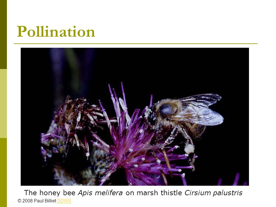 Pollination The honey bee Apis melifera on marsh thistle Cirsium palustris © 2008 Paul Billiet ODWSODWS