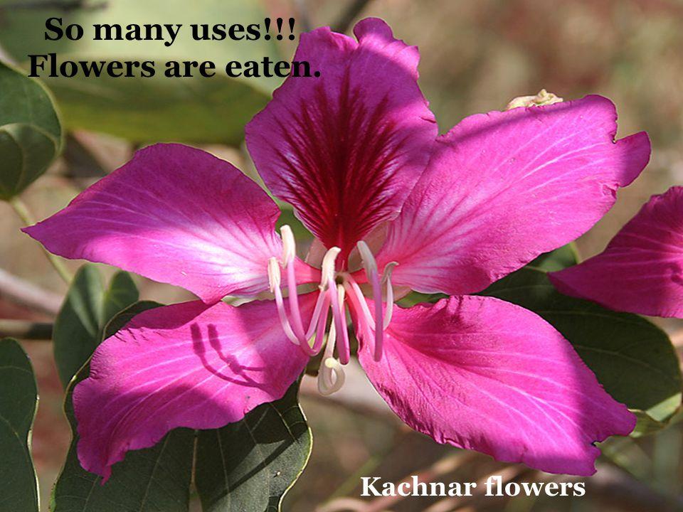 So many uses!!! Flowers are eaten. Kachnar flowers