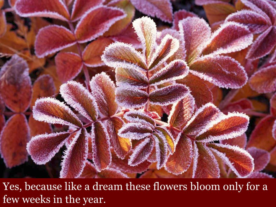 Yes, because like a dream these flowers bloom only for a few weeks in the year.