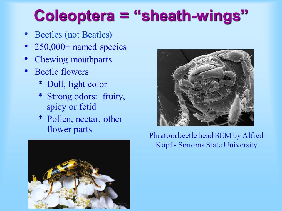 Coleoptera = sheath-wings Beetles (not Beatles) 250,000+ named species Chewing mouthparts Beetle flowers *Dull, light color *Strong odors: fruity, spi