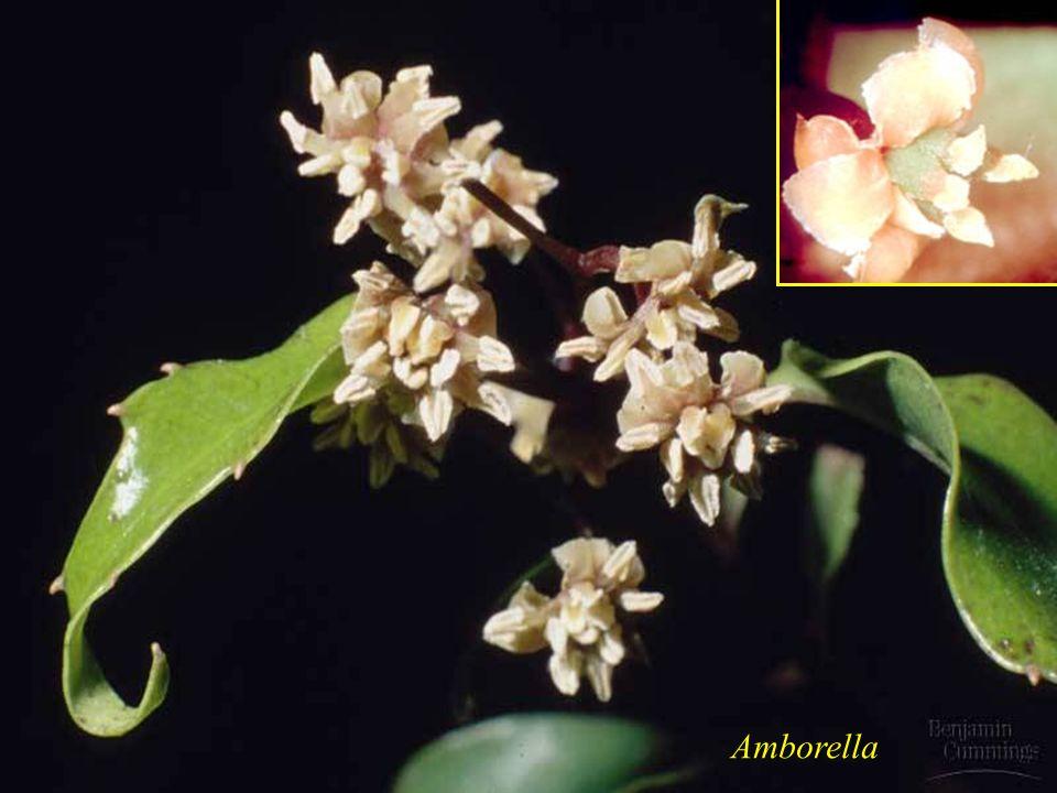 Amborella