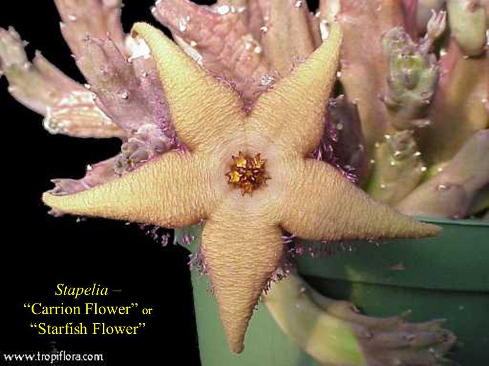 Stapelia – Carrion Flower or Starfish Flower