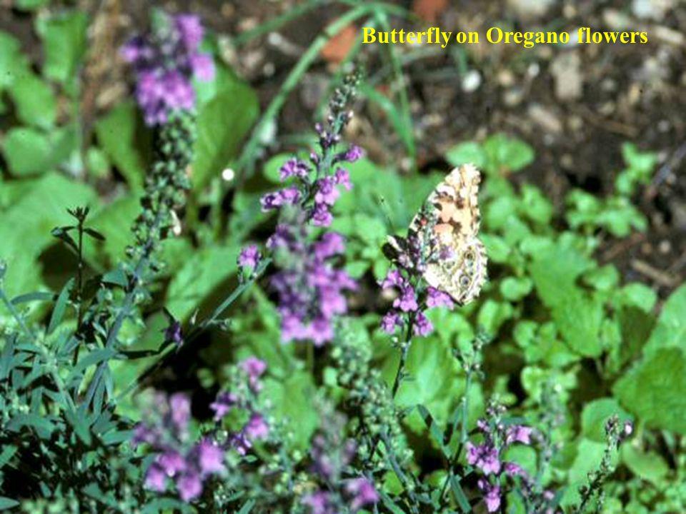 Butterfly on Oregano flowers
