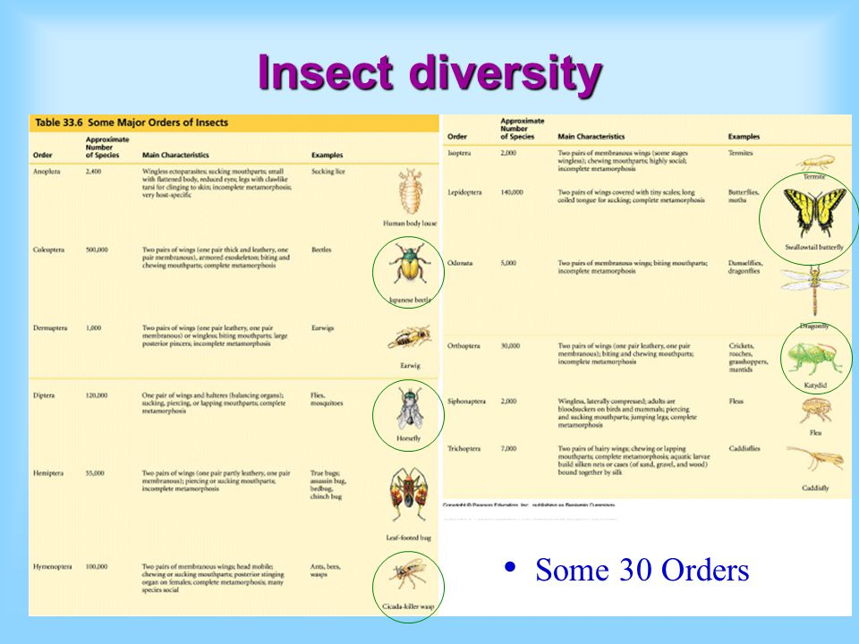 Insect evolution Arthropods followed plants onto land Insects evolved on land First insect in Mid Paleozoic (springtail) Insect diversity explosion in Late Paleozoic Plants used for food and shelter Early seed plant pollen a food source.