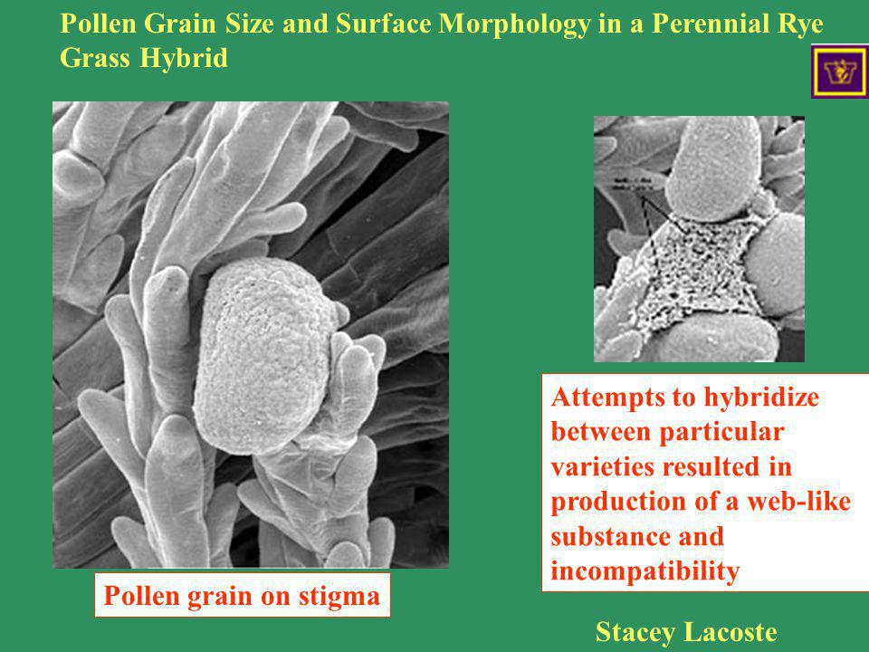 Rye grass incompatibility Pollen Grain Size and Surface Morphology in a Perennial Rye Grass Hybrid Stacey Lacoste Pollen grain on stigma Attempts to h