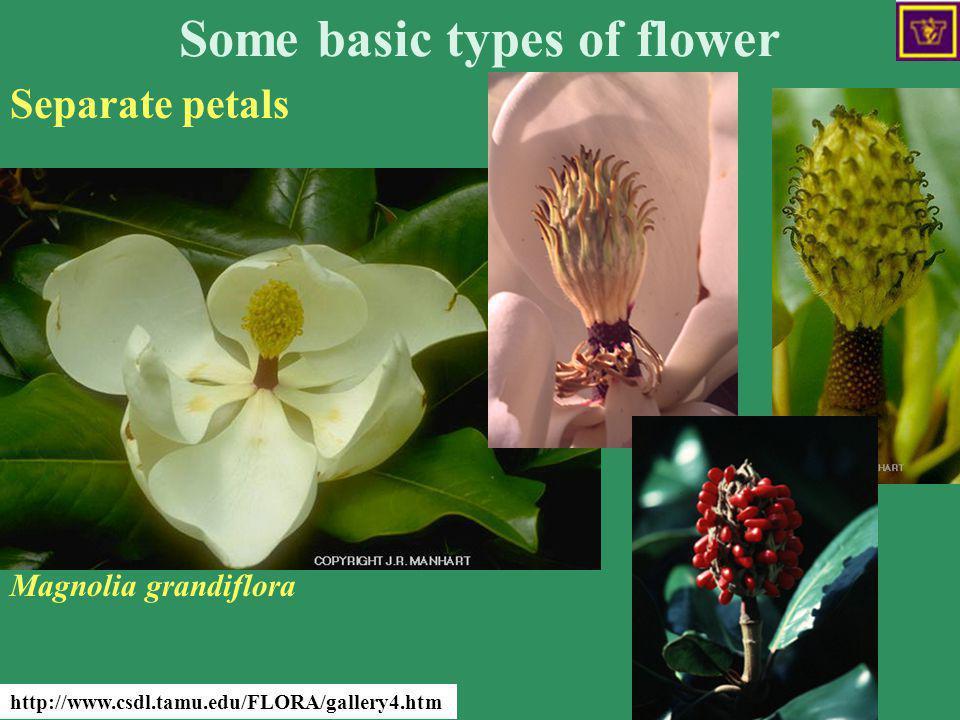 Some basic types of flower Separate petals http://www.csdl.tamu.edu/FLORA/gallery4.htm Magnolia grandiflora