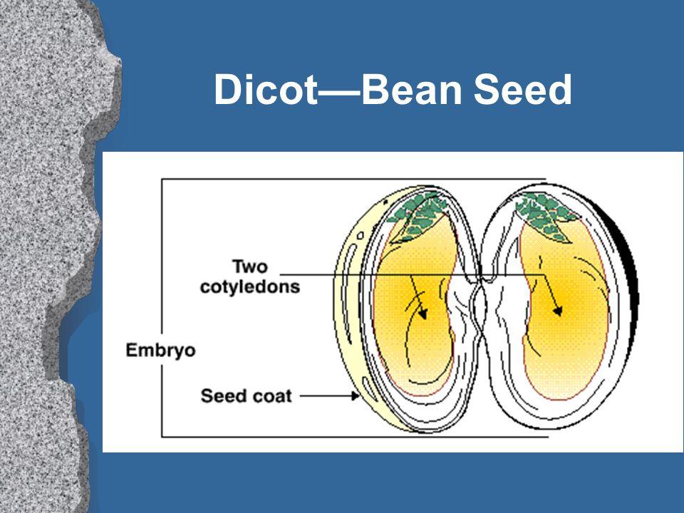 DicotBean Seed
