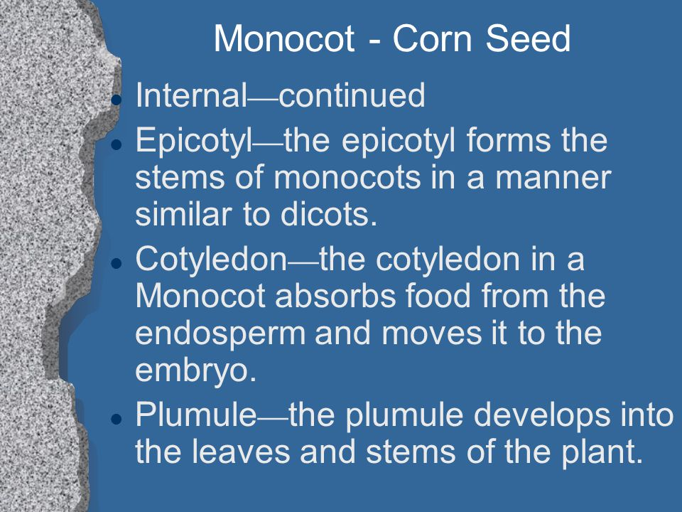 Monocot - Corn Seed Internal continued Epicotyl the epicotyl forms the stems of monocots in a manner similar to dicots. Cotyledon the cotyledon in a M