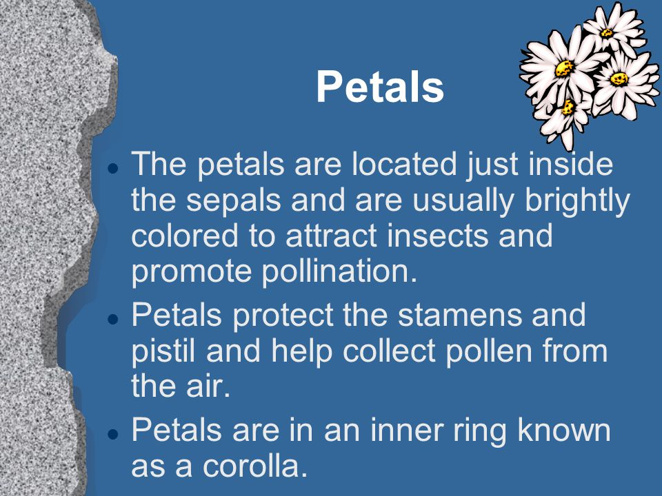 Petals l The petals are located just inside the sepals and are usually brightly colored to attract insects and promote pollination. l Petals protect t