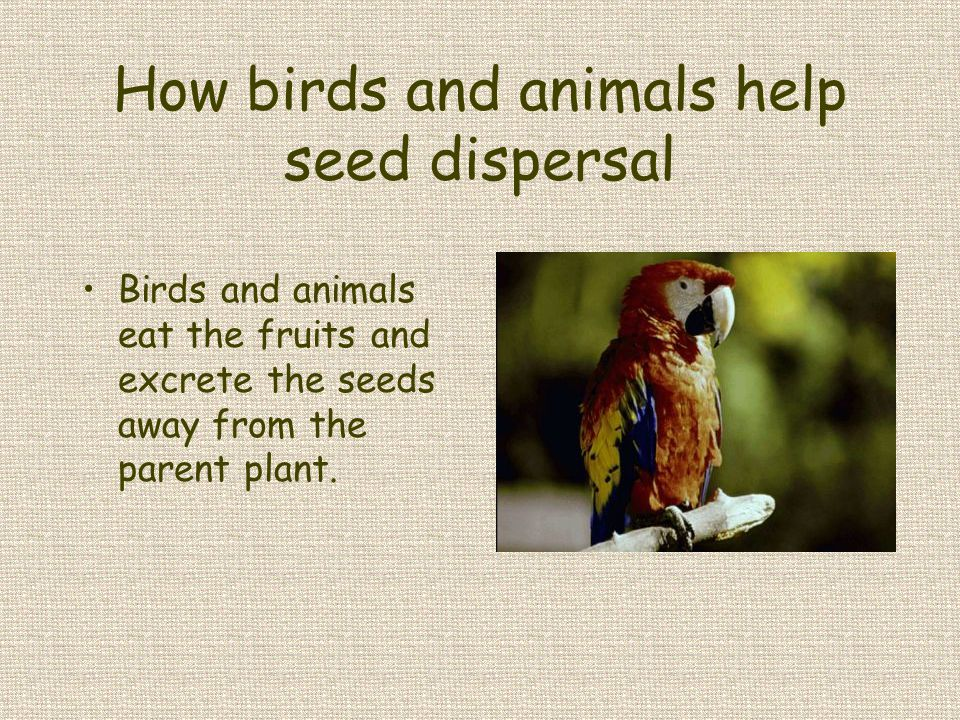 How birds and animals help seed dispersal Birds and animals eat the fruits and excrete the seeds away from the parent plant.