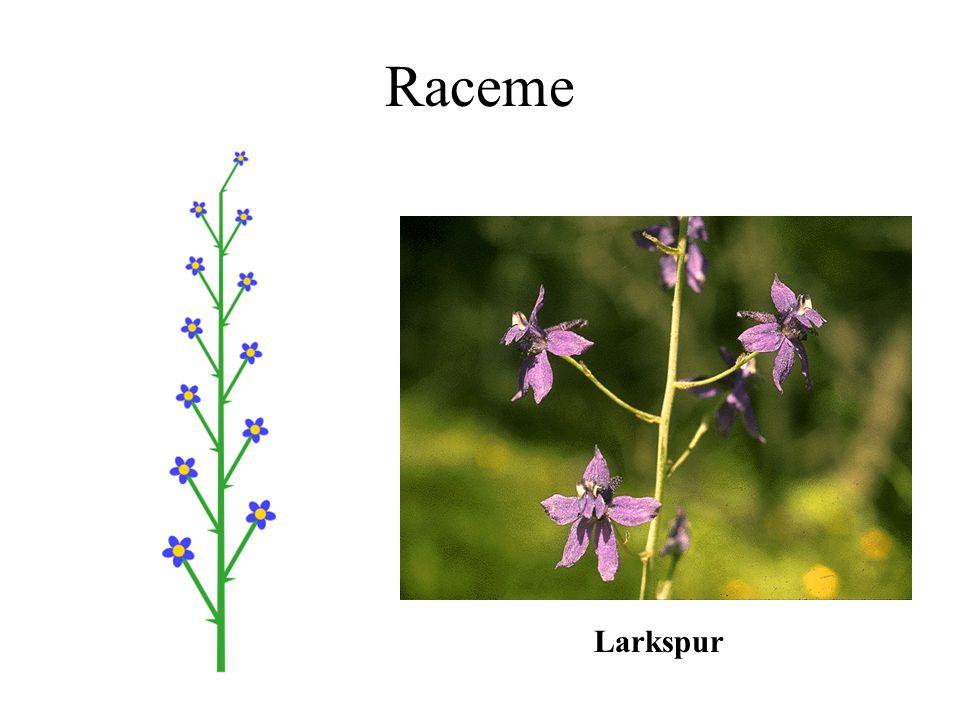 Raceme Larkspur