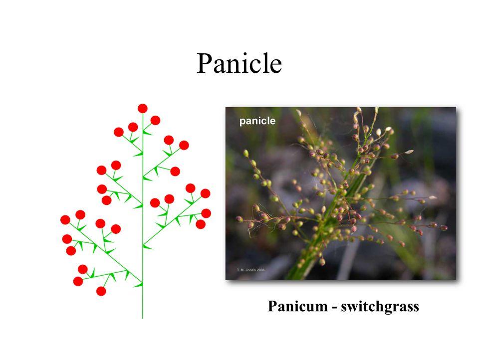 Panicle Panicum - switchgrass