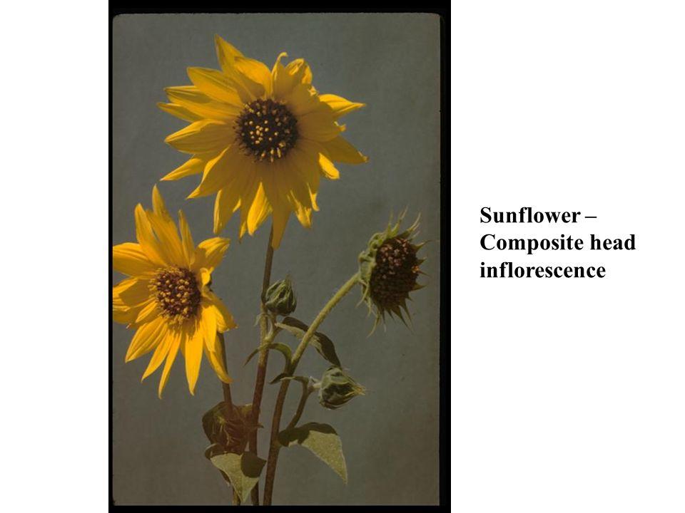 Sunflower – Composite head inflorescence