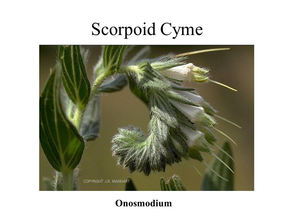 Scorpoid Cyme Onosmodium