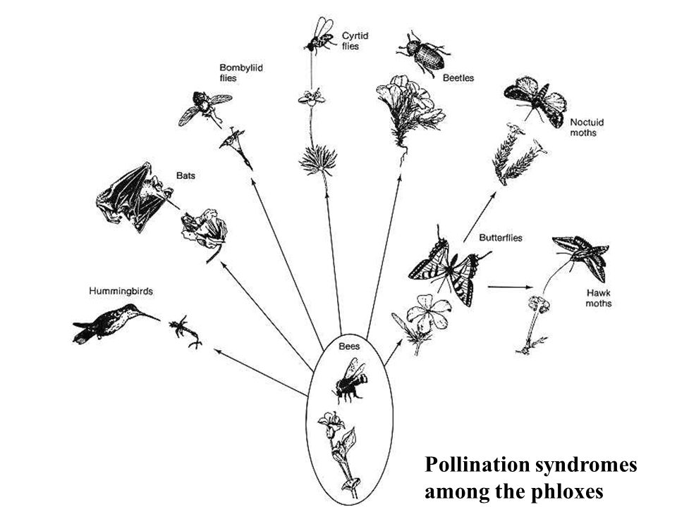 Pollination syndromes among the phloxes