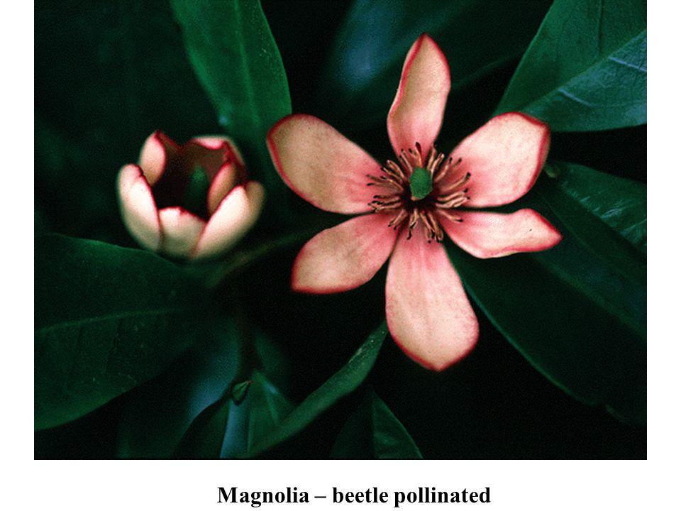 Magnolia – beetle pollinated