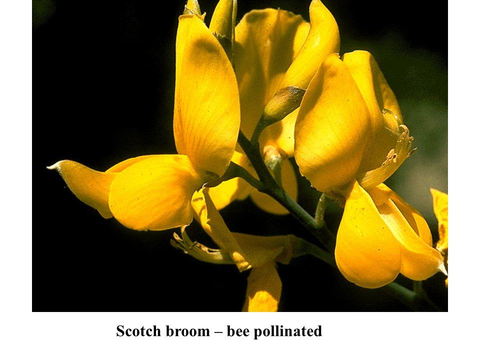 Scotch broom – bee pollinated
