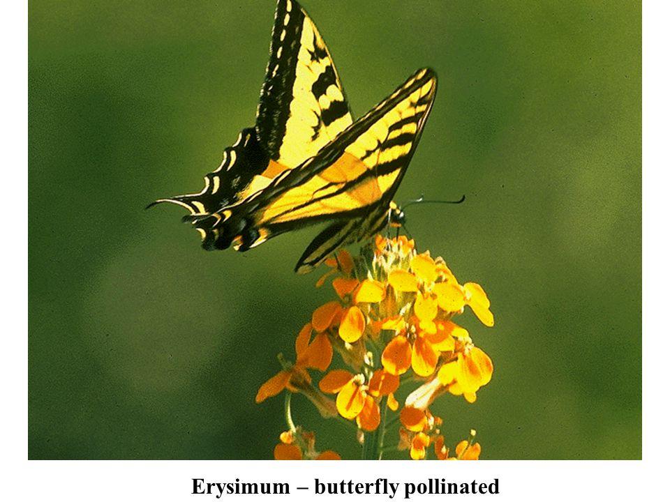 Erysimum – butterfly pollinated