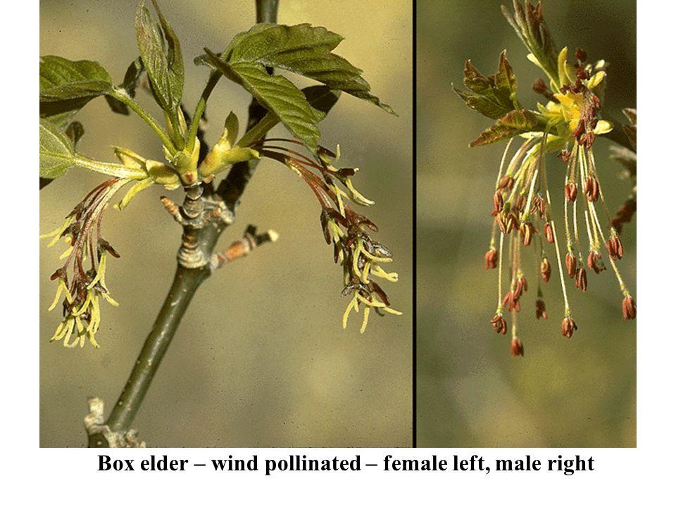 Box elder – wind pollinated – female left, male right