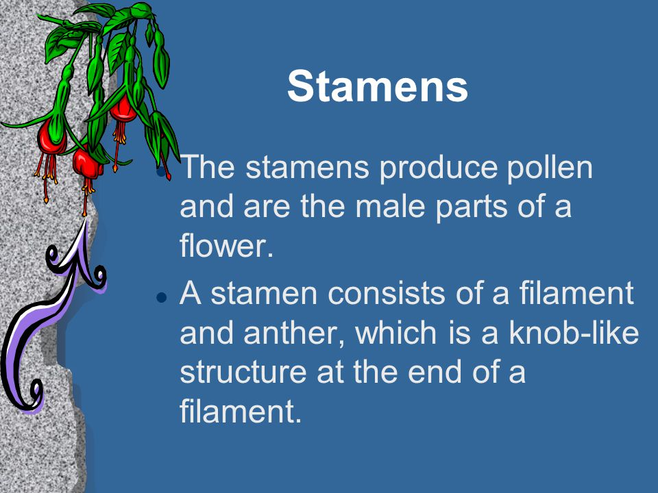Stamens l The stamens produce pollen and are the male parts of a flower. l A stamen consists of a filament and anther, which is a knob-like structure
