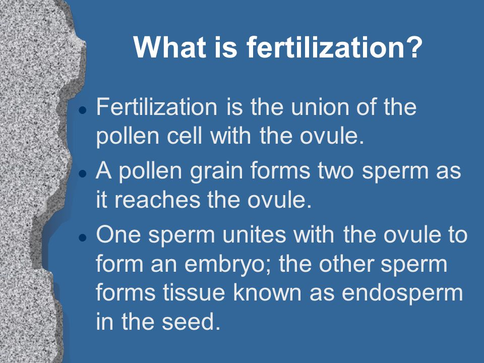 What is fertilization? l Fertilization is the union of the pollen cell with the ovule. l A pollen grain forms two sperm as it reaches the ovule. l One