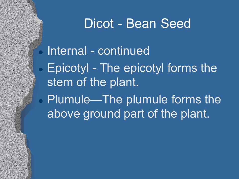 Dicot - Bean Seed l Internal - continued l Epicotyl - The epicotyl forms the stem of the plant. l PlumuleThe plumule forms the above ground part of th