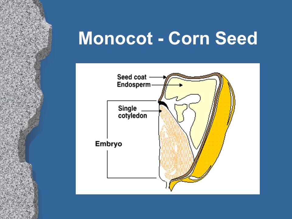 Monocot - Corn Seed