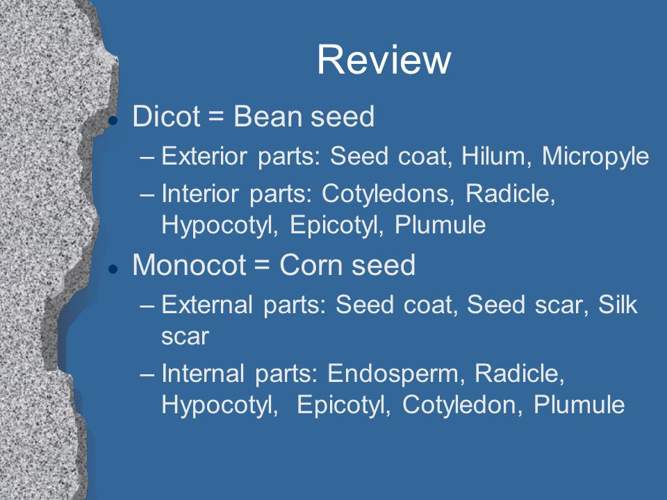 Review l Dicot = Bean seed –Exterior parts: Seed coat, Hilum, Micropyle –Interior parts: Cotyledons, Radicle, Hypocotyl, Epicotyl, Plumule l Monocot =