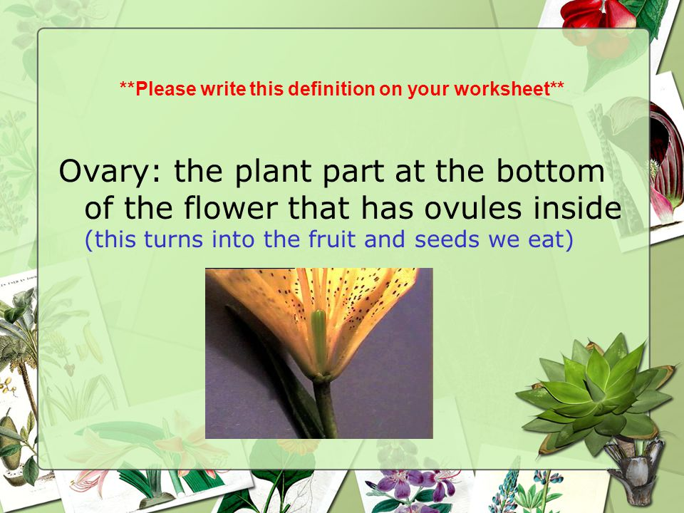 **Please write this definition on your worksheet** Ovary: the plant part at the bottom of the flower that has ovules inside (this turns into the fruit