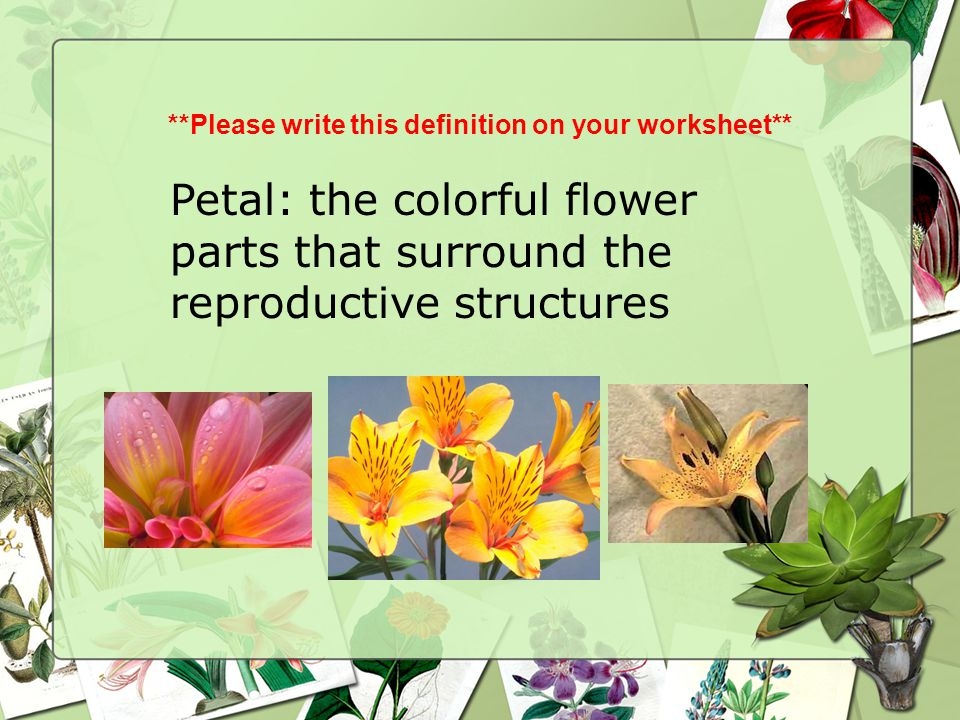 **Please write this definition on your worksheet** Petal: the colorful flower parts that surround the reproductive structures
