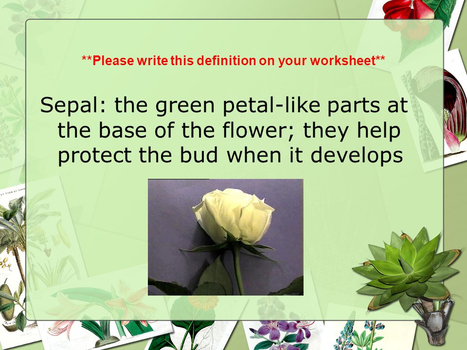 **Please write this definition on your worksheet** Sepal: the green petal-like parts at the base of the flower; they help protect the bud when it deve