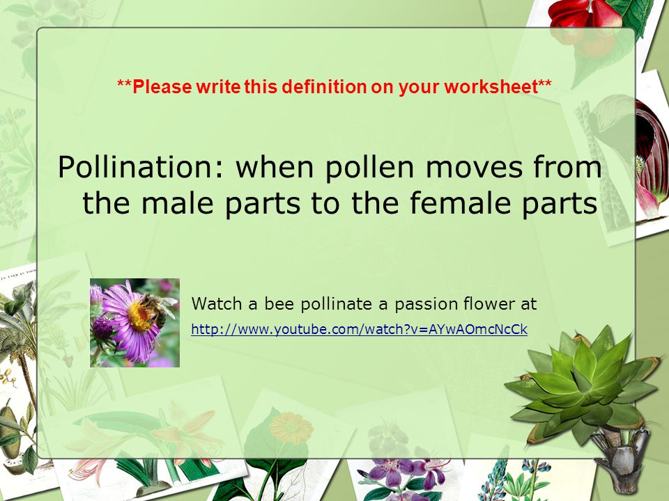 **Please write this definition on your worksheet** Pollination: when pollen moves from the male parts to the female parts Watch a bee pollinate a pass