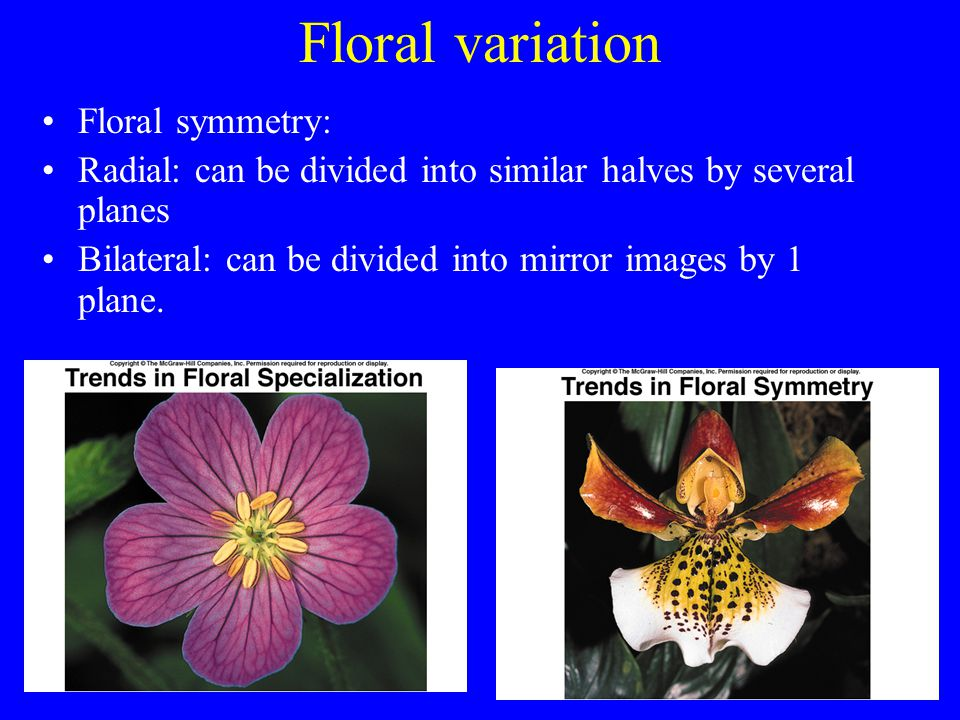 Floral variation Floral symmetry: Radial: can be divided into similar halves by several planes Bilateral: can be divided into mirror images by 1 plane