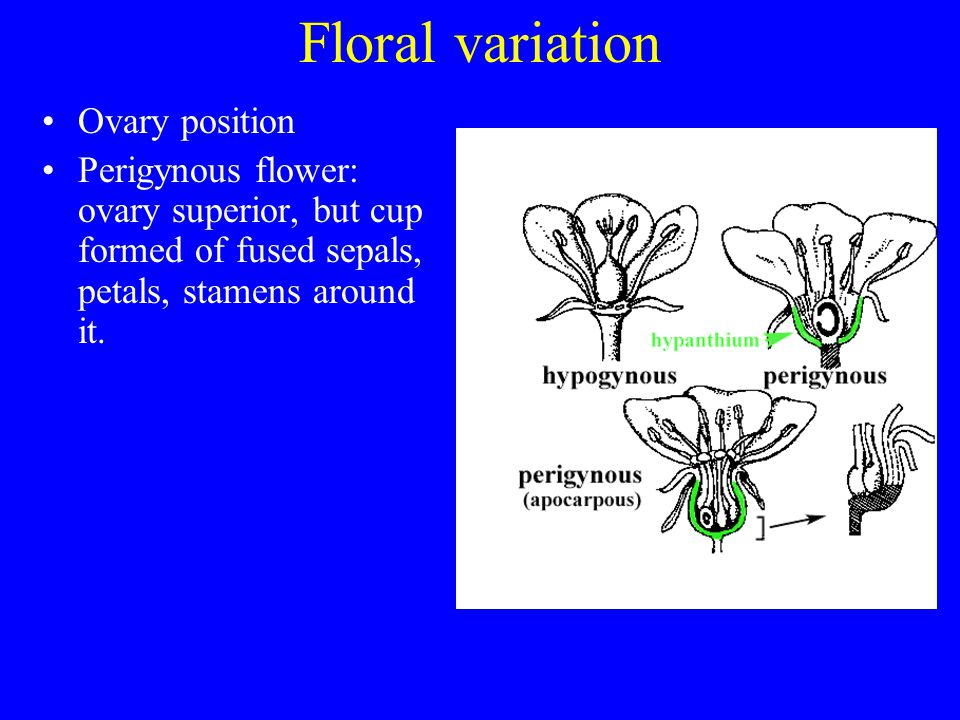 Floral variation Ovary position Perigynous flower: ovary superior, but cup formed of fused sepals, petals, stamens around it.