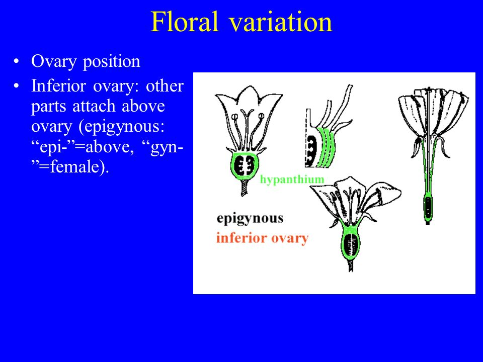 Floral variation Ovary position Inferior ovary: other parts attach above ovary (epigynous: epi-=above, gyn- =female).