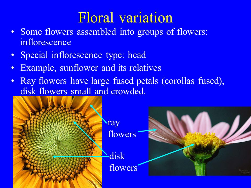 Floral variation Some flowers assembled into groups of flowers: inflorescence Special inflorescence type: head Example, sunflower and its relatives Ra