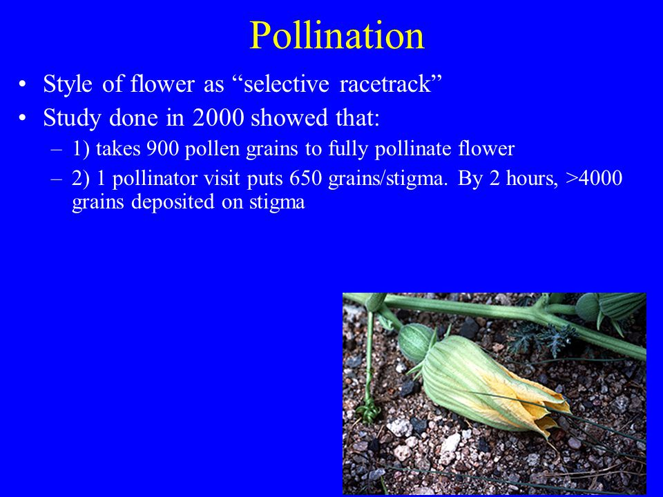 Pollination Style of flower as selective racetrack Study done in 2000 showed that: –1) takes 900 pollen grains to fully pollinate flower –2) 1 pollina