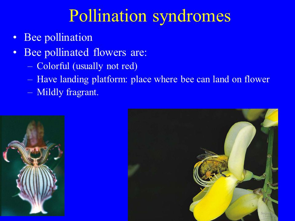 Pollination syndromes Bee pollination Bee pollinated flowers are: –Colorful (usually not red) –Have landing platform: place where bee can land on flow