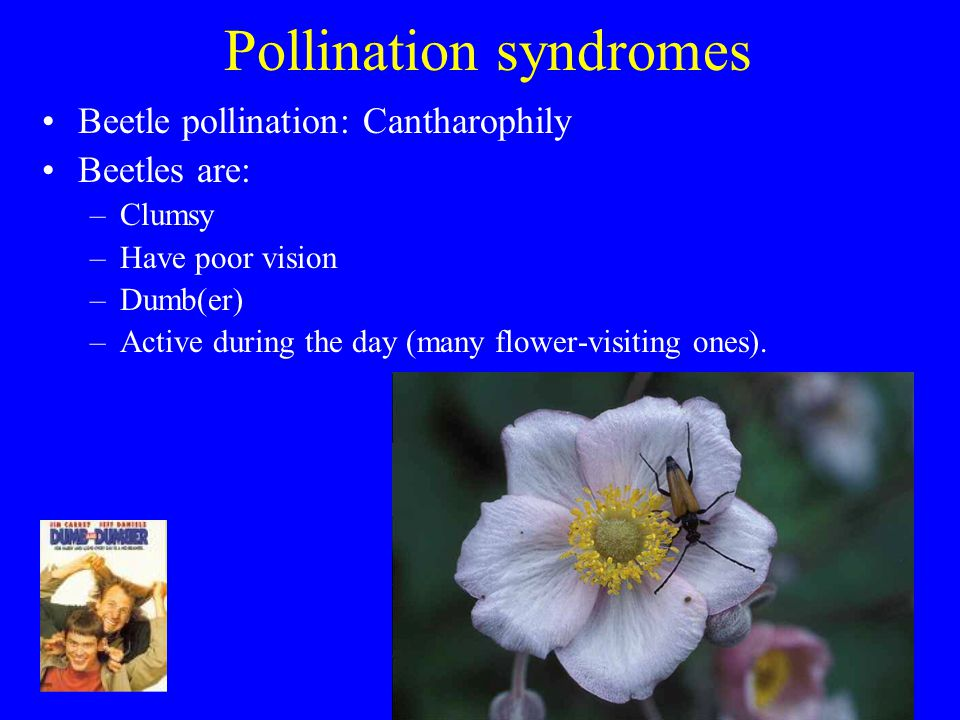 Pollination syndromes Beetle pollination: Cantharophily Beetles are: –Clumsy –Have poor vision –Dumb(er) –Active during the day (many flower-visiting