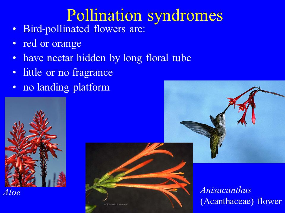 Pollination syndromes Bird-pollinated flowers are: red or orange have nectar hidden by long floral tube little or no fragrance no landing platform Alo