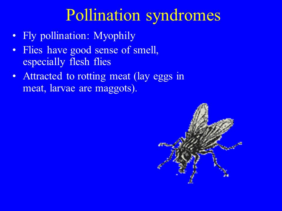 Pollination syndromes Fly pollination: Myophily Flies have good sense of smell, especially flesh flies Attracted to rotting meat (lay eggs in meat, la