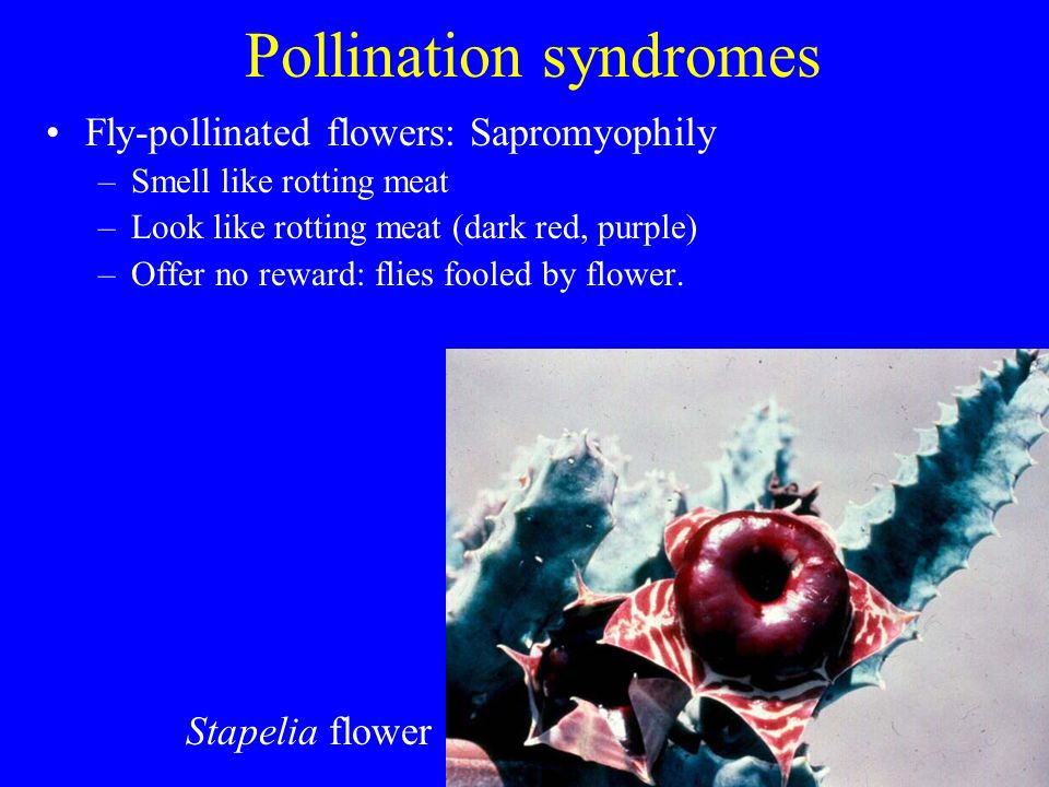 Pollination syndromes Fly-pollinated flowers: Sapromyophily –Smell like rotting meat –Look like rotting meat (dark red, purple) –Offer no reward: flie