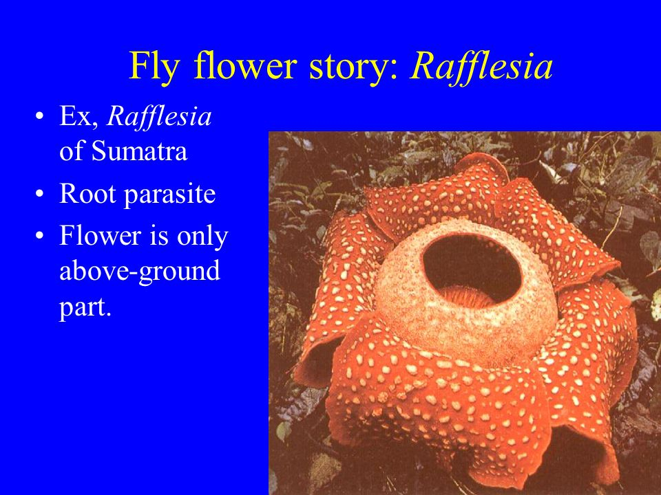 Fly flower story: Rafflesia Ex, Rafflesia of Sumatra Root parasite Flower is only above-ground part.