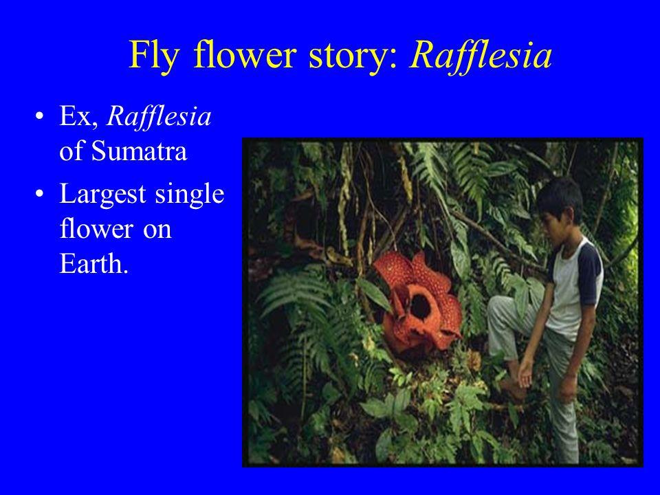 Fly flower story: Rafflesia Ex, Rafflesia of Sumatra Largest single flower on Earth.