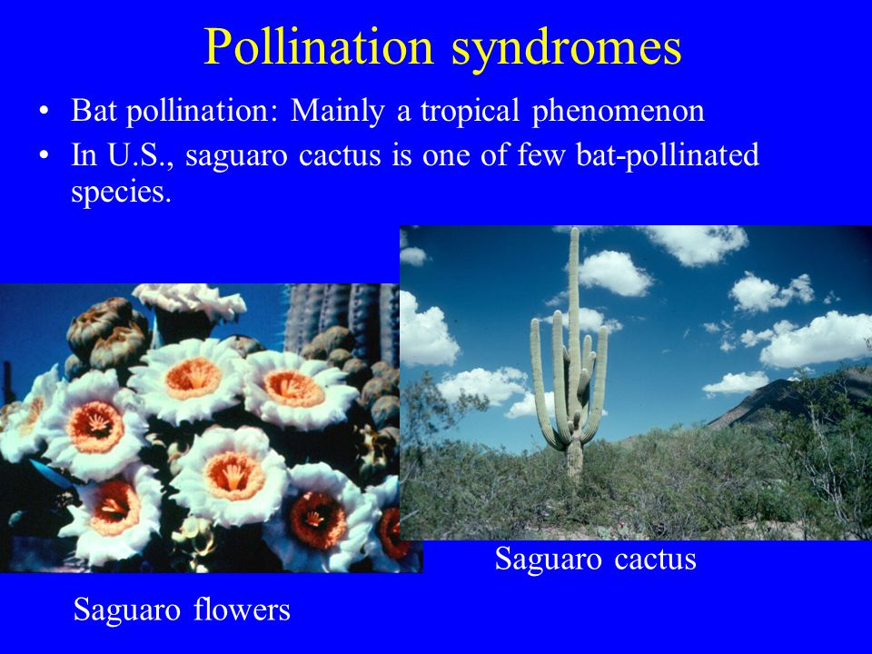Pollination syndromes Bat pollination: Mainly a tropical phenomenon In U.S., saguaro cactus is one of few bat-pollinated species. Saguaro flowers Sagu