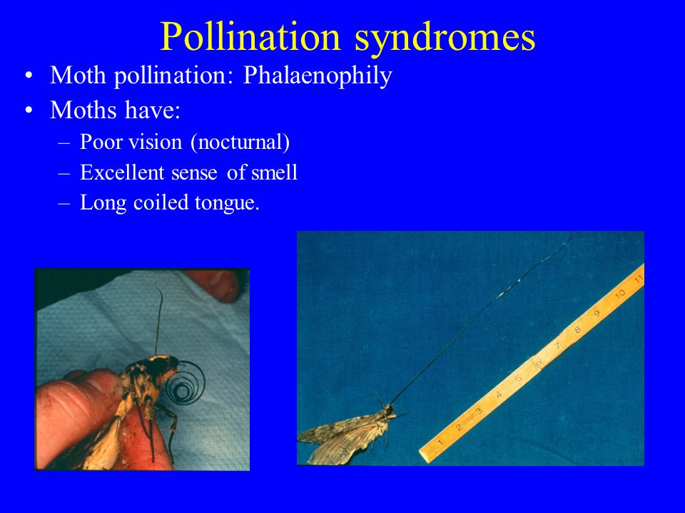 Pollination syndromes Moth pollination: Phalaenophily Moths have: –Poor vision (nocturnal) –Excellent sense of smell –Long coiled tongue.