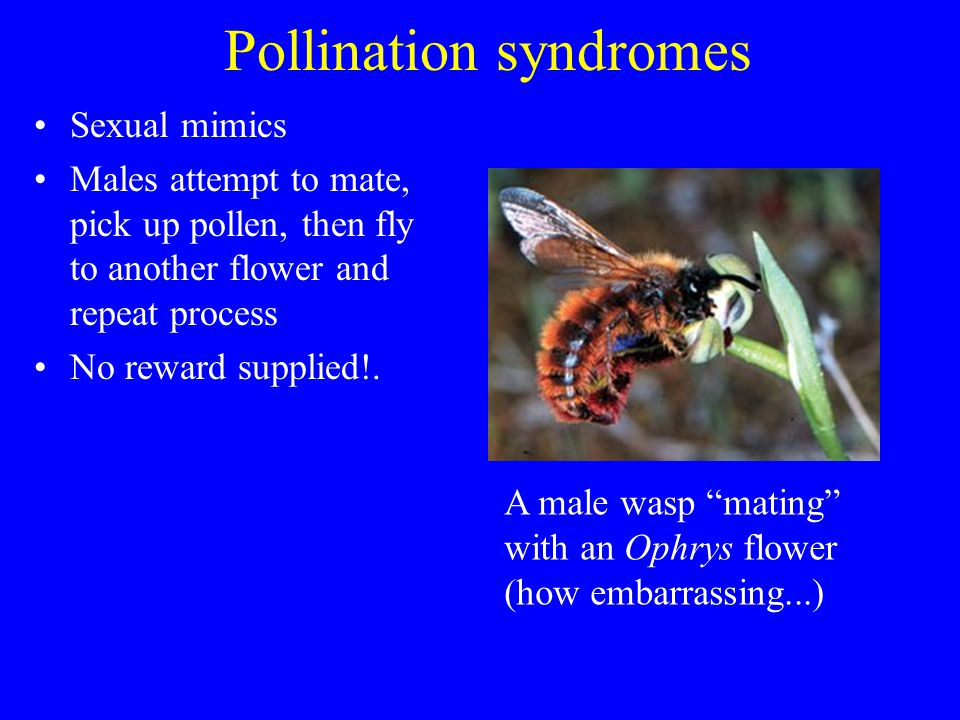 Pollination syndromes Sexual mimics Males attempt to mate, pick up pollen, then fly to another flower and repeat process No reward supplied!. A male w