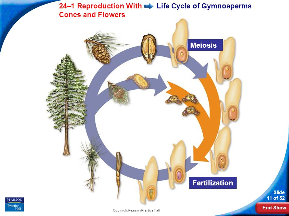 End Show Slide 11 of 52 24–1 Reproduction With Cones and Flowers Copyright Pearson Prentice Hall Life Cycle of Gymnosperms Meiosis Fertilization